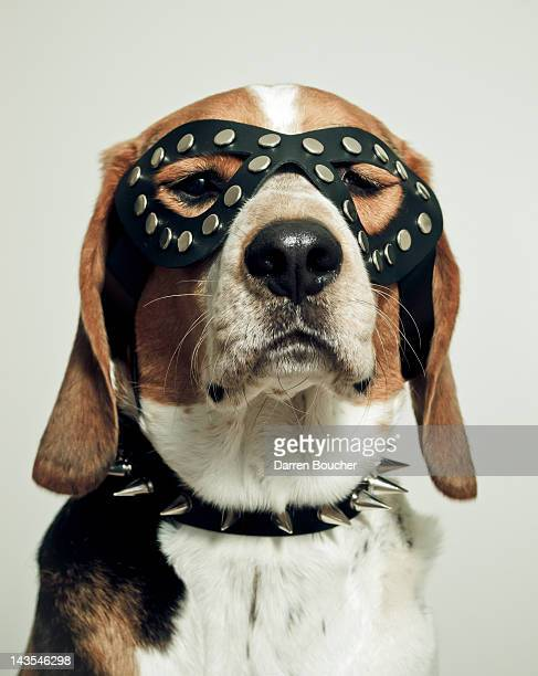 hound in black mask - fetish wear stock photos and pictures