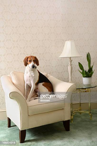 hound in the parlor - coonhound stock pictures, royalty-free photos & images