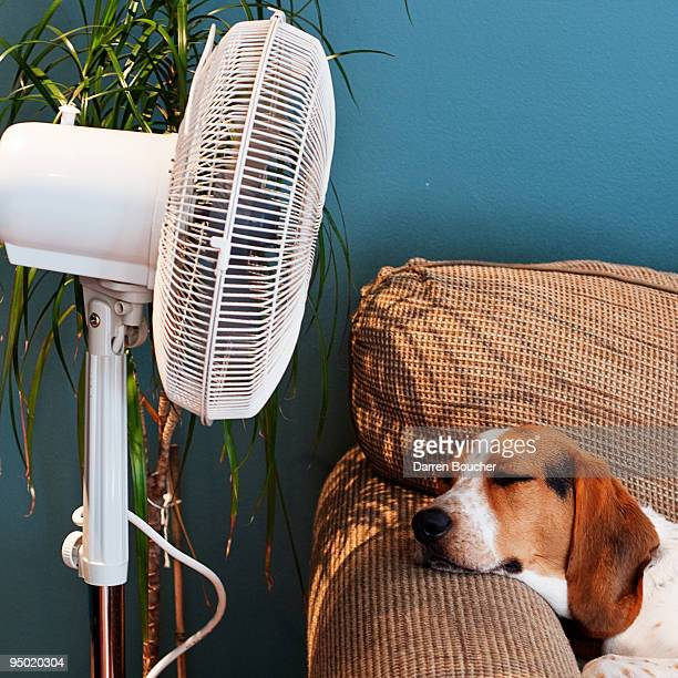Hound lies in front of fan
