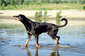 Hound walking in the water