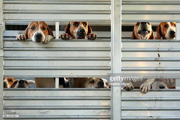 Hounds are held in a trailer prior to the during the fox hunt at Kitty Crossing Farm on October 25 2016 in Rowley Massachusetts