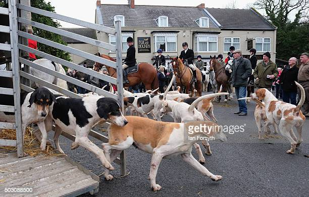 Hounds are released from their trailer as the Cleveland Hunt prepares to ride out on the traditional New Year's Day hunt on January 1, 2016 in...