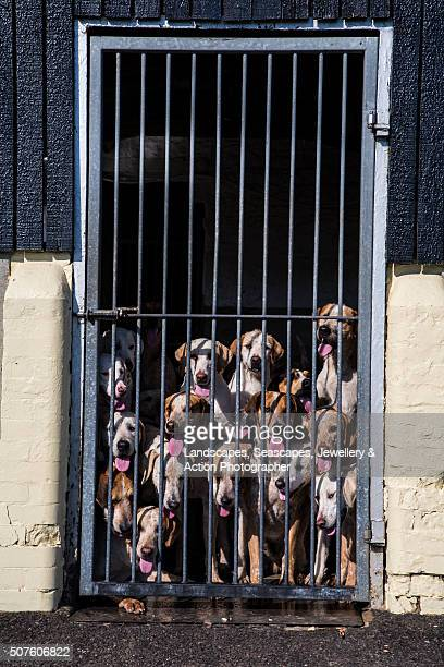 hounds behind bars - pack of dogs stock pictures, royalty-free photos & images