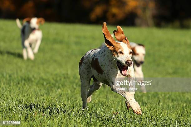 Hounds follow the scent during the fox hunt at Kitty Crossing Farm on October 25, 2015 in Rowley, Massachusetts.