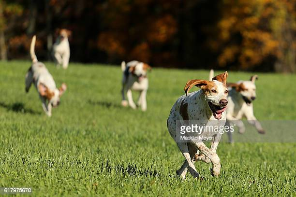 Hounds follow the scent during the fox hunt at Kitty Crossing Farm on October 25 2015 in Rowley Massachusetts