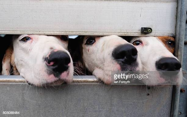 Hounds from the Cleveland Hunt look from a trailer as the hunt prepares to ride out on the traditional New Year's Day hunt on January 1, 2016 in...