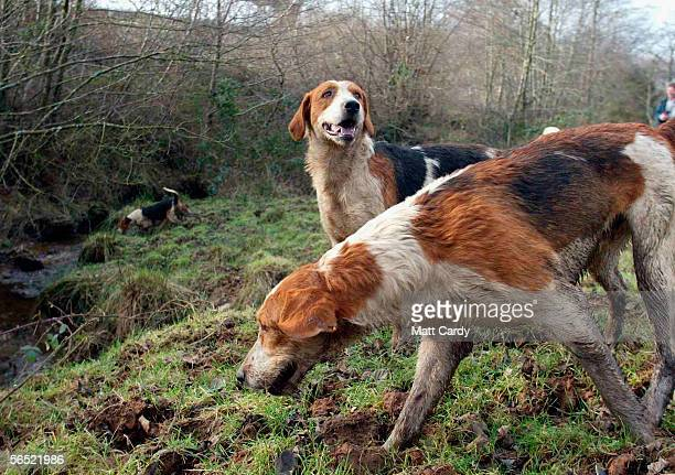 Hounds from the Dulverton Farmers Hunt follow the scent near Woodland Wild Boar Farm during the first boar hunt in the UK for 300 hundred years in...