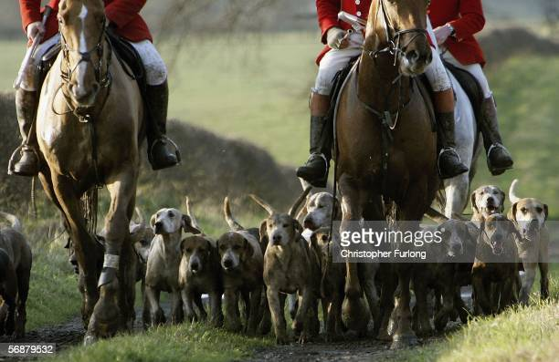 Hounds of the Cheshire Forest Hunt set off across the countryside on February 18 2006 in Byley England Today marks the one year anniversary since the...