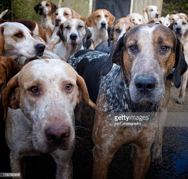 hounds - pack of dogs stock pictures, royalty-free photos & images