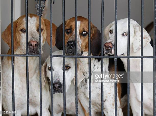 Hounds wait in their kennels for their turn to take part in the Peterborough Festival of Hunting at the East of England Show Ground on July 21 2010...