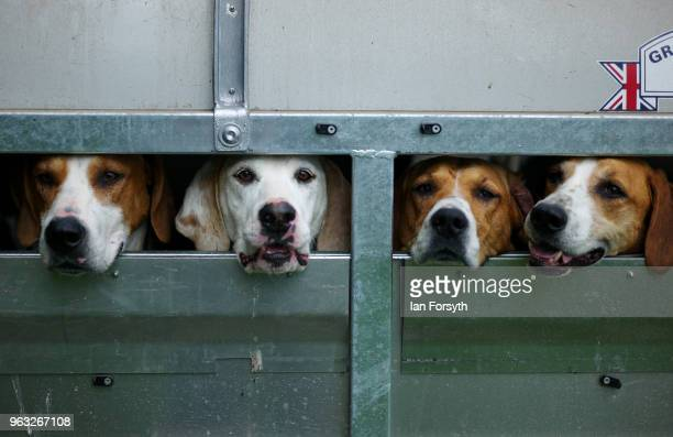 Hounds wait in their trailer before judging during the Duncombe Park Country Fair on May 28 2018 in Helmsley England Set in the grounds of one of...