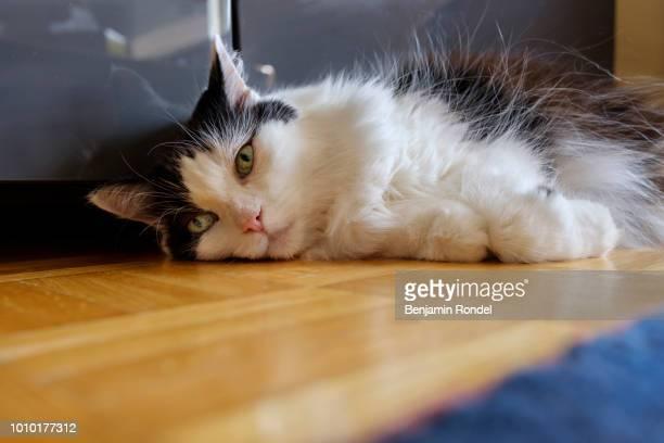 house cat closeup - mamífero con garras fotografías e imágenes de stock