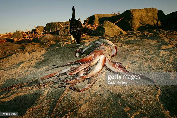 A house cat walks near a giant squid that washed ashore on January 19 2005 in Newport Beach California Scientists are trying to figure out why...
