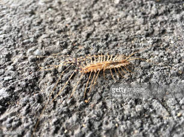 House Centipede Crawling on Asphalt Surface