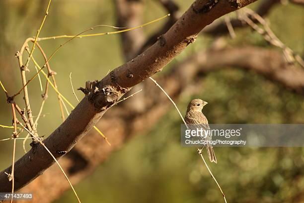 House Finch Haemorhous mexicanus Carpodacus Bird