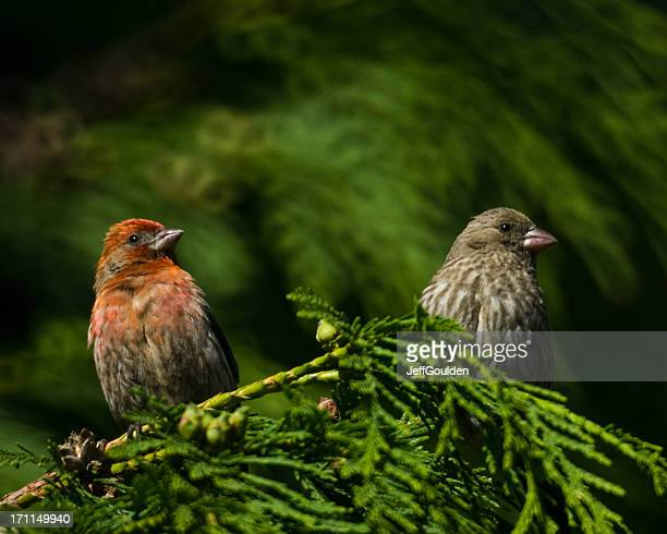 House Finch Pair in Cedar Tree