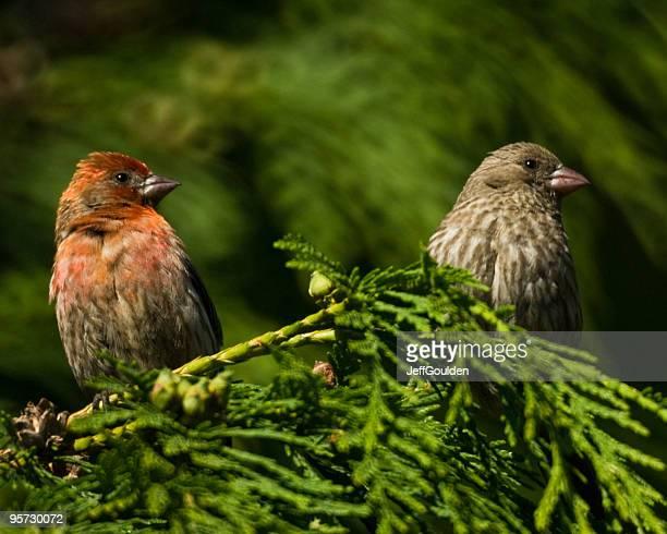 House Finch Pair in Cedar Tree