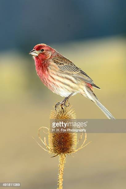 house finch perched on dried thistle - house finch stock pictures, royalty-free photos & images