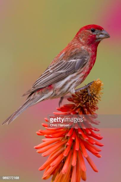house finch - house finch stock pictures, royalty-free photos & images