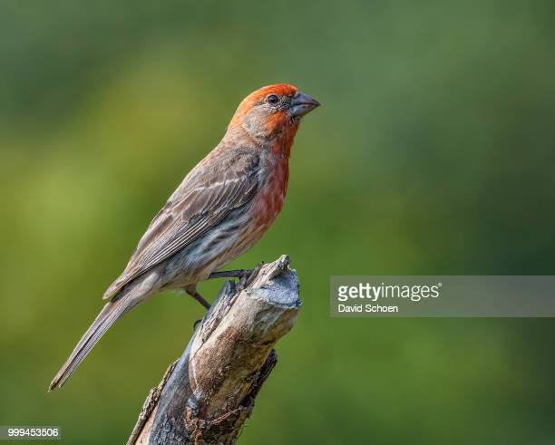 house finch  (male) - house finch stock pictures, royalty-free photos & images