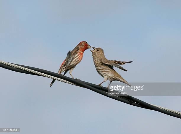 House Finches Courtship