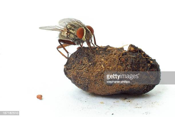 House Fly Eating Dung or Fecal Matter on White Background