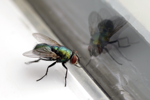 House Fly & Glass Reflection Closeup 139956922
