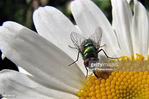 House fly on a daisy