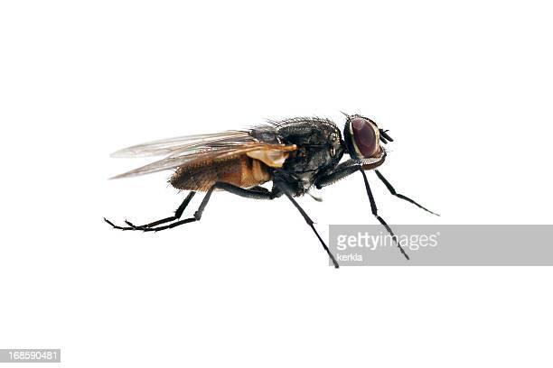house fly - housefly stock pictures, royalty-free photos & images