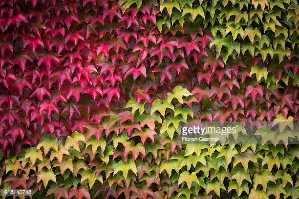 A house front is covered with colorful leaves on October 16 2016 in Berlin Germany
