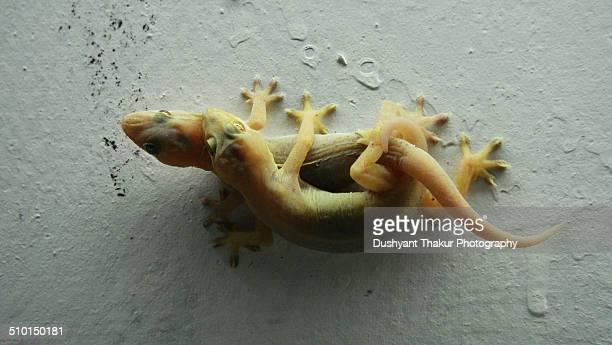 house gecko mating - begattung kopulation paarung stock-fotos und bilder