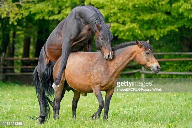 house horses, pairing on the pasture, germany - accouplement cheval photos et images de collection