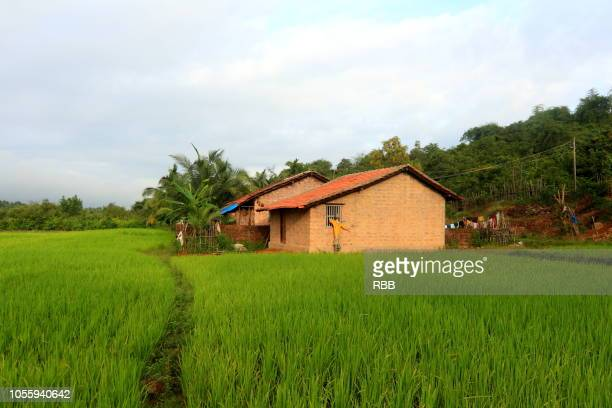 a house in paddy field - rural scene stock pictures, royalty-free photos & images