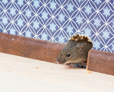 house mouse gets into  room through hole in wall 526538639