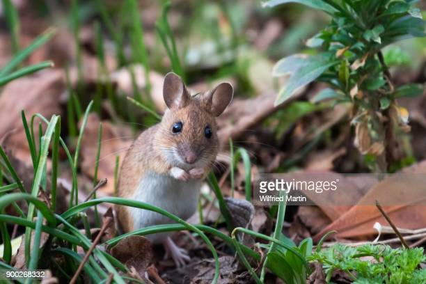 house mouse (mus musculus) in meadow, hesse, germany - field mouse stock photos and pictures