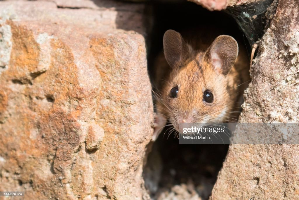 House mouse (Mus musculus) looking out of a hole in stone wall, Germany : Stock Photo