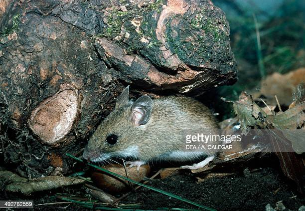 House mouse Muridae