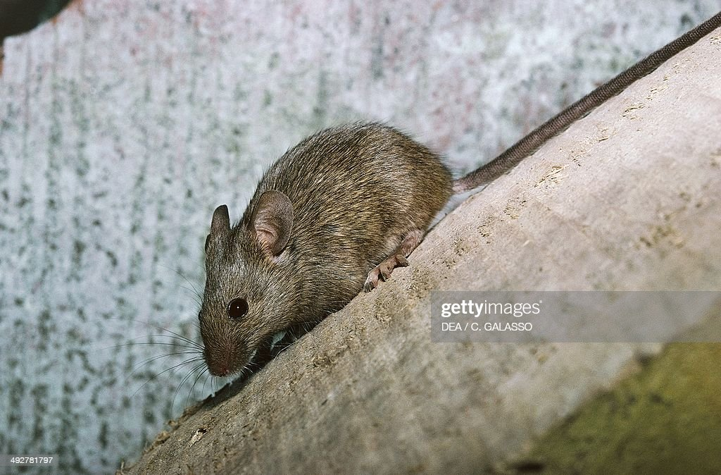 House mouse (Mus musculus)... : News Photo