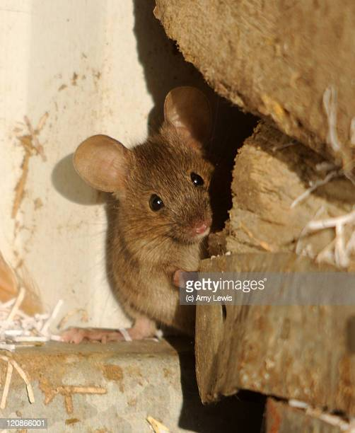 house mouse (mus musculus) - field mouse stock photos and pictures