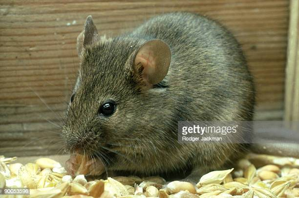 house mouse - field mouse stock photos and pictures