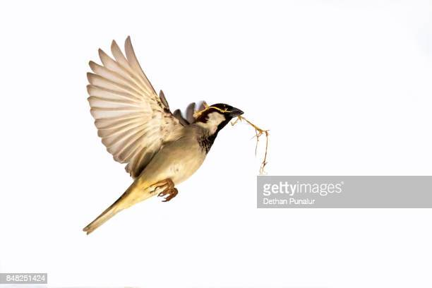 house planning sparrow - one animal stock photos and pictures