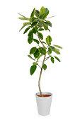 House PlantーFicus altissima Variegata
