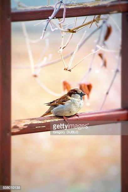 House sparrow Vogel thront im Herbst
