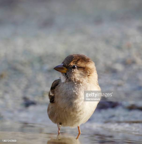 house sparrow (passer domesticus) female bathing - overijssel stock pictures, royalty-free photos & images