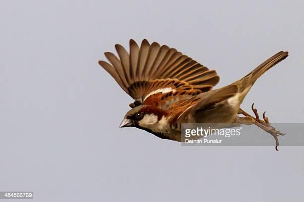 House sparrow flying