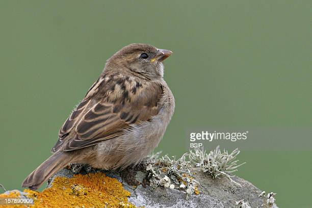 House Sparrow Juvenile House Sparrow Shetland Islands ScotlandPasser Domesticus House Sparrow Sparrow Passerid Passerine Bird