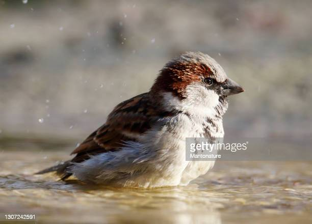 house sparrow (passer domesticus) male bathing - overijssel stock pictures, royalty-free photos & images
