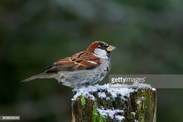 House sparrow male perched on wooden fence post in the snow in winter
