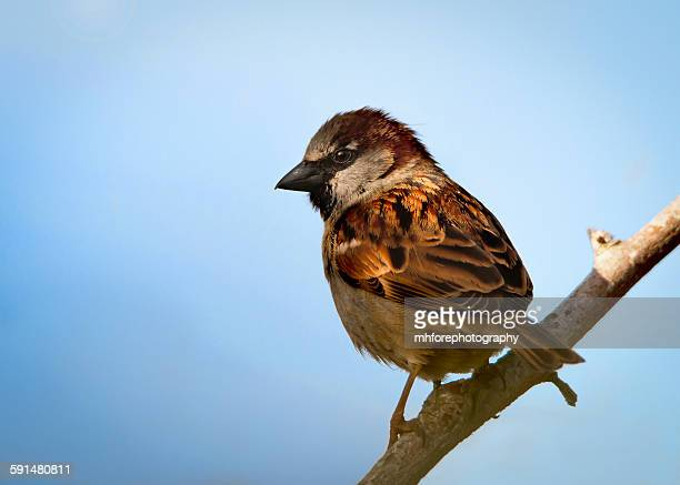 House sparrow male