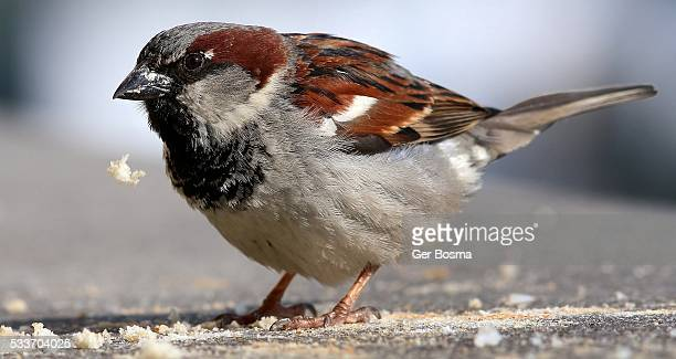 House Sparrow Messy Eater